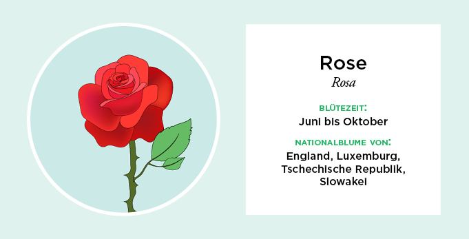Infografik, Nationalblumen Europas, Rose