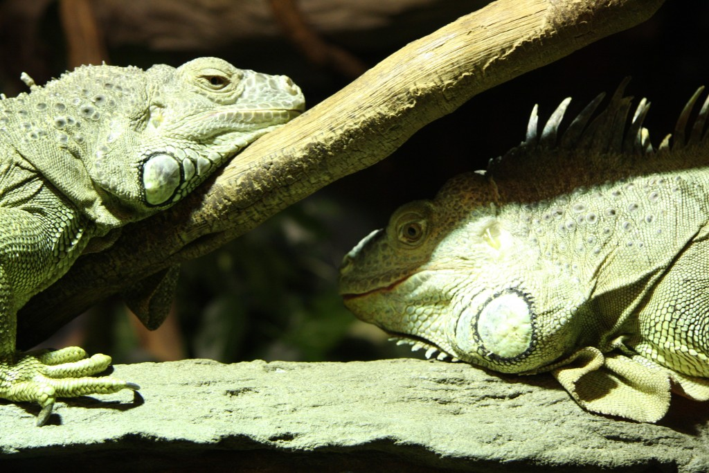 Lizards at the Australian Reptile Park