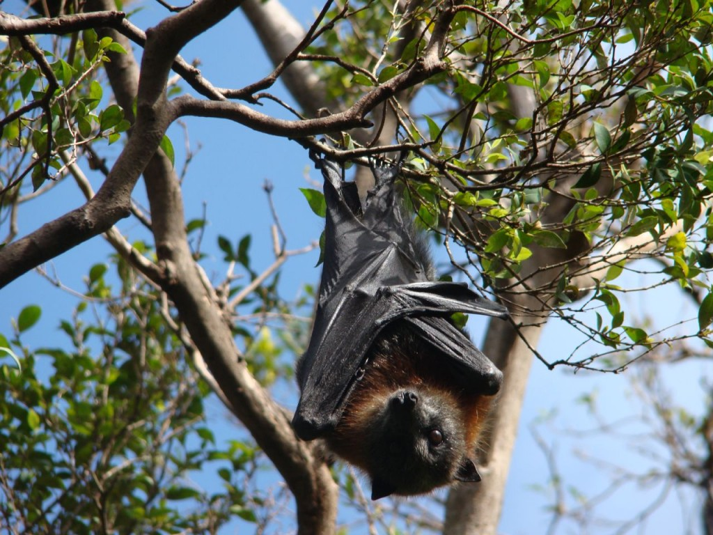 Fruit Bats in the Sydney Royal Botanic Gardens